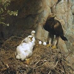 تحقیق درباره لانه سازی عقاب